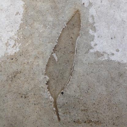 Eucalyptus trace fossil in concrete