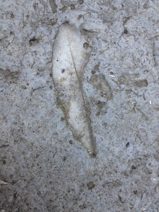 Unknown leaf trace in concrete