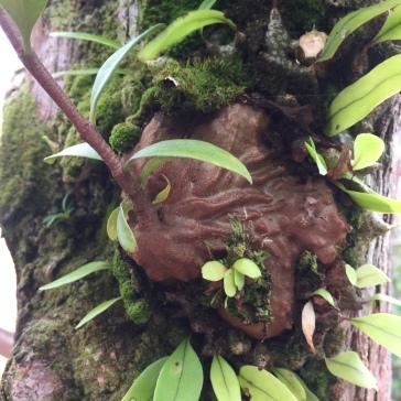 Hydnophytum formicarium