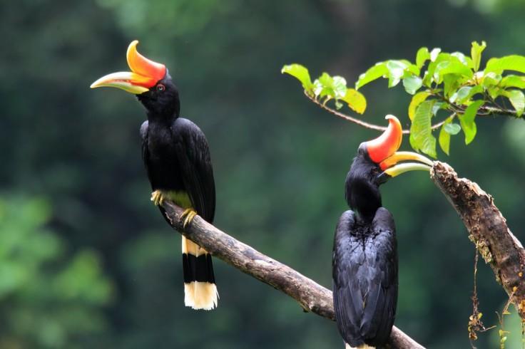 Rhinoceros Hornbills, Sarawak, Borneo